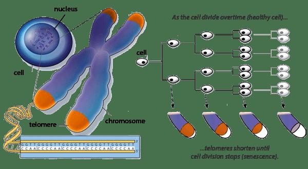 shortening_telomeres